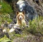 גזע כלבים נדיר בניו גניאה