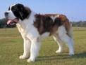 גזעי כלבים - סן ברנד