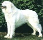 גזעי כלבים - אקבש