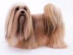 גזעי כלבים - לאסה אפסו