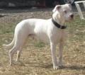 גזעי כלבים - דוגו ארגנטינו
