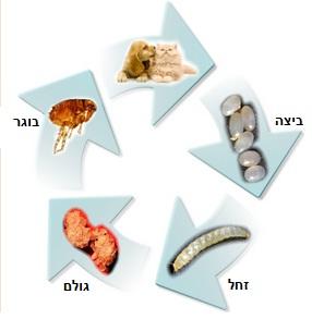 מחזור חיים של פרעוש