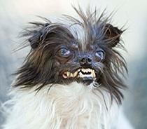 פינוט (בוטן) - כרגע מוביל בתחרות עם קרוב ל- 1000 קולות.  האם הוא יהיה הכלב המכוער ביותר בעולם לשנת 2014?